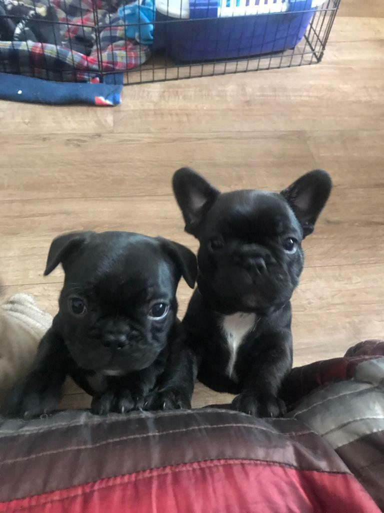 French Bulldog Puppies Ready to leave! Add updated as had wrong contact  number!! | in Musselburgh, East Lothian | Gumtree