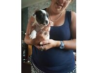 Jack russel puppys will be ready in 4weeks for sale