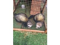 2 male ferrets and large hutch