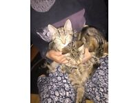 3 beautiful playful kitten's ready to go to there New forever home
