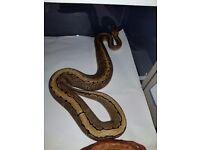 Ball python ( pinstripe)