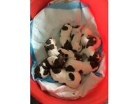 Springer spaniel puppies for sale