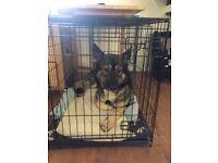 German Shepherd X Husky pup