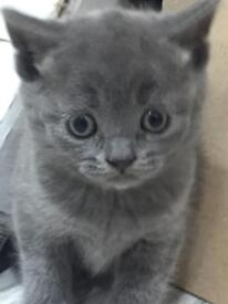 British shorthair kittens gccf reg champion sired