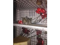 Degu and cage for sale