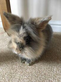 Female Lion head rabbit £15
