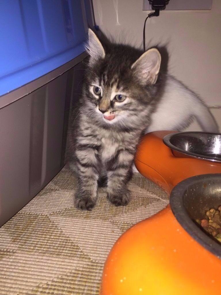 8 weeks old kittens for sale in Niddrie Edinburgh