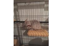 Male Baby Chinchilla