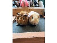 Gorgeous baby guinea pig boys for sale