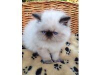 Persian Himalayan Colourpoint Kitten
