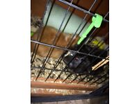 Two Guinea pigs with hutch&rain cover £40