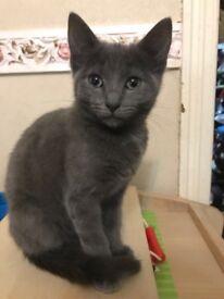 Rare blue bengal/rag doll kitten