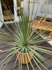 Agave 1m wide / 80cm tall