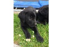 KC Black Labrador Pups