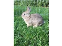 Baby Purebred Netherland Dwarf Rabbits 8 Weeks Old - Ready Now!..