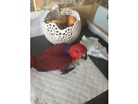 Hand reared Female Eclectus for sale