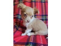 CHIHUAHUA PUPPIES FOR SALE REDUCED PRICE