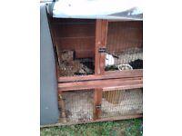 Female rabbitt