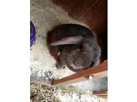 Choc self mini lop doe