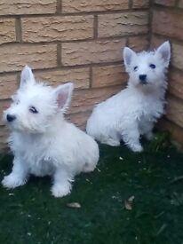 West Highland Terrier puppys