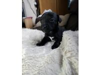 Patterjack puppies 3 beautiful girls left