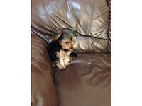 Yorkshire Terrier £380