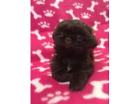 Kc Chocolate imperial shih tzu girl