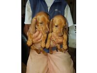 Miniature smooth haired Dachshund Puppies, now looking for thier for ever homes