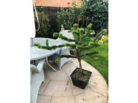 Araucaria 'Monkey Puzzle' Tree