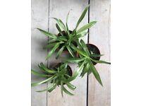 Lemon and Lime spider plants
