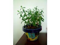 Large Chinese Jade Money Tree - Good Luck plant - Crassula Ovata inc free pot £20 -Middlesbrough