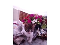 Part ragdoll male /female kittens