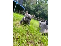 Kc reg Blue and tan french bulldog
