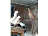 Pure White Doves/Mixed Beautiful Colours Pigeons - £30 Pair