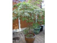 Japanese maple Palmatum in Chinese style pot, 6fthighx 5ft spread.