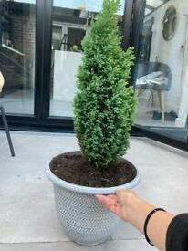 Garden Conifer in a pot