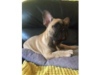 French Bulldog 9 weeks old!!!