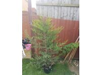 CONIFER TREE 6 FOOT TALL - FREE - COLLECT FROM IP1