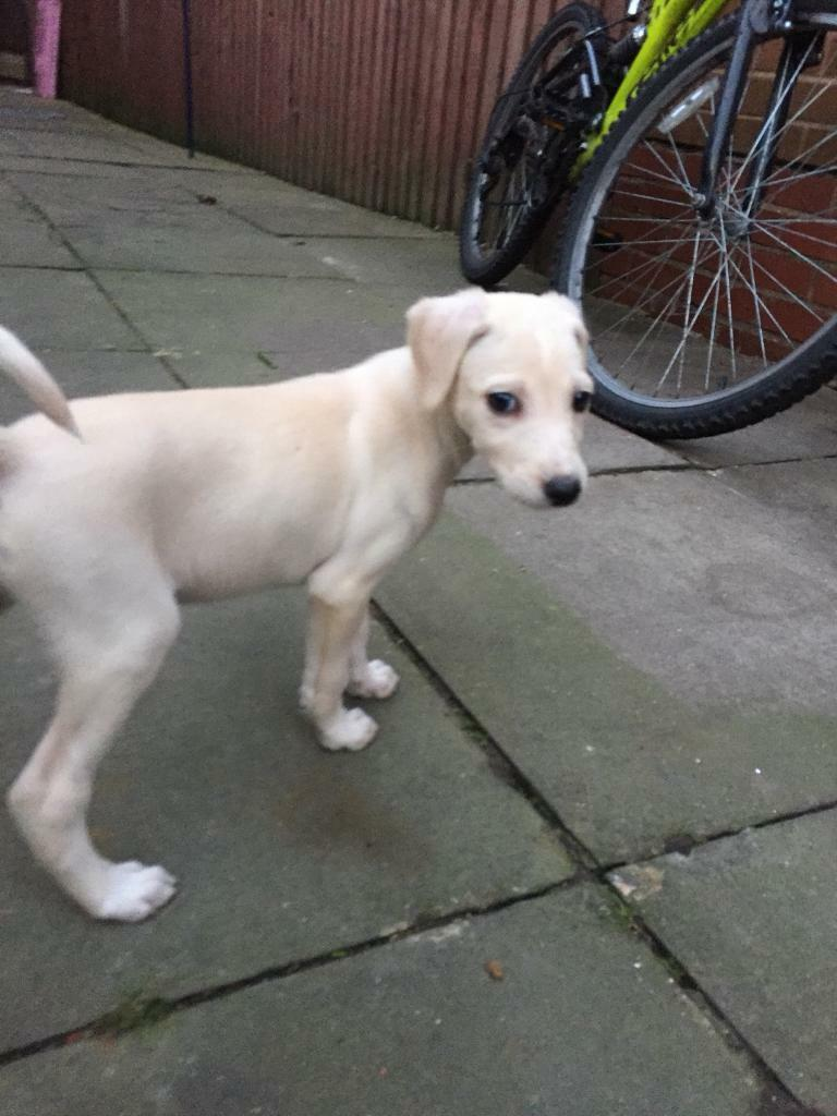 Adorable Female Labrador Cross Puppy For Sale