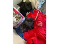 Kittens ( half British blue) 2 available