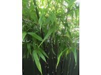 black bamboo plant