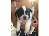 Shorkie puppys (shih tzu cross yorkshire terrier