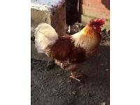 Cockerel free to a loving home