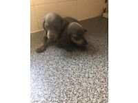 Truly delightful blue mini dachshund puppys available