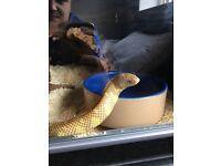 4ft albino California king snake for sale