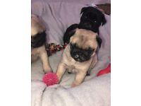 Amazing pug puppies kc registered