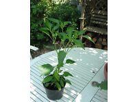 Good size, Healthy Orange Chilli Plants