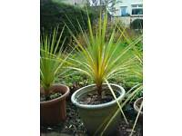 Cordyline Palm tree Torbay Palm tree 110cm, ready to plant out, been outside for 2 winters, exotic