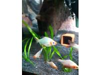 Platinum green tiger barbs