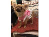Tiny Tea Cup Long Coat Chihuahua Female